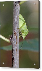 Descent Of A Green Stink Bug Acrylic Print by Doris Potter