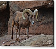 Desert Bighorn Sheep Ram I Acrylic Print