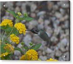 Desert Hummingbird Acrylic Print by Dietrich Sauer