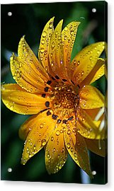 Dew-dipped Wildflower Acrylic Print by Louise Mingua