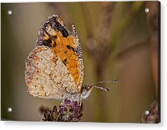 Dew Drenched Pearl Crescent Butterfly Acrylic Print by Bonnie Barry