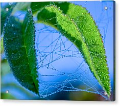 Dew Droplets Acrylic Print by Brian Stevens