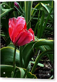 Acrylic Print featuring the digital art Dew Drops On Red Tulip by Glenna McRae