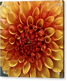 Dew Kissed Chrysanthemum Acrylic Print by John Black