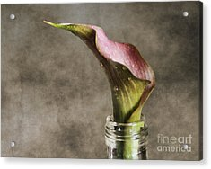 Dew Of A Lily Acrylic Print by Darren Fisher