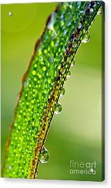 Dewdrops On Lemongrass Acrylic Print by Thomas R Fletcher