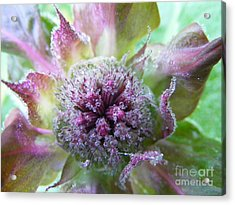 Dewey Red Bee Balm Acrylic Print by Lila Fisher-Wenzel