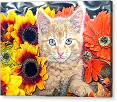 Di Milo - Sun Flower Kitten With Blue Eyes - Kitty Cat In Fall Autumn Colors With Gerbera Flowers Acrylic Print by Chantal PhotoPix