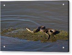 Diamondback Water Snake - 4011 Acrylic Print