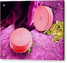Diatom Algae, Sem Acrylic Print by Susumu Nishinaga