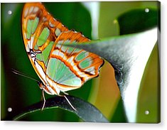 Acrylic Print featuring the photograph Dido Longwing Butterfly by Peggy Franz