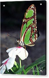Dido Longwing Butterfly Acrylic Print by Terry Elniski
