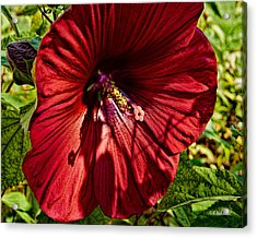 Dinner Plate Hibiscus Acrylic Print by Christopher Holmes