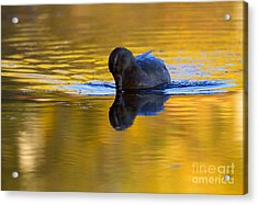 Dipping In Gold Acrylic Print by Mike  Dawson