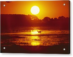 Distant Deer Silhouetted In A Marsh Acrylic Print by Amy White & Al Petteway