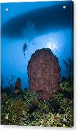Diver And Barrel Sponge, Belize Acrylic Print by Todd Winner