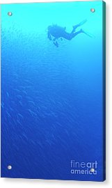 Diver By School Of Pelican Barracudas Acrylic Print by Sami Sarkis