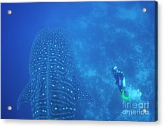 Diver Filmming A Whale Shark Acrylic Print by Sami Sarkis