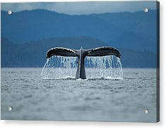 Diving Humpback Whale, Alaska Acrylic Print by Paul Souders