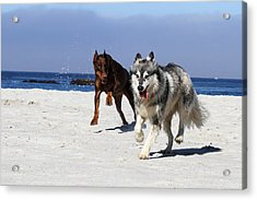 Doberman And Husky Play Acrylic Print by Renae Laughner