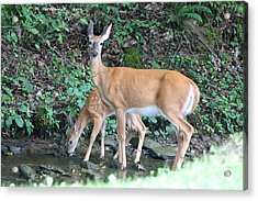 Doe And Fawn In The Creek Acrylic Print by Carolyn Postelwait