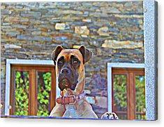 Dog Buldog Acrylic Print by Jenny Senra Pampin