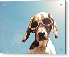 Dog In Goggles With Sun Flare Acrylic Print by Darren Boucher
