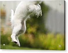 Dog Jumps Acrylic Print by Richard Wear