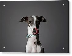 Dog Licking His Nose Acrylic Print by Chris Amaral