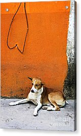 Dog Near Colorful Wall In Mexican Village Acrylic Print by Elena Elisseeva