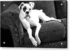 Dog On Couch Acrylic Print by Sumit Mehndiratta