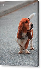 Dog On Street Acrylic Print by Sophie Vigneault
