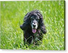 Dog On The Grass Acrylic Print by Mats Silvan