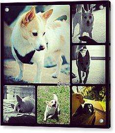 #dog #pet #puppy #collage #animallovers Acrylic Print