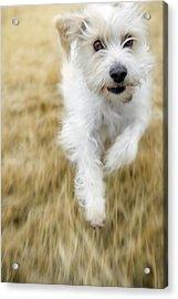 Dog Running Acrylic Print by Darwin Wiggett