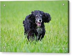 Dog Running On The Green Field Acrylic Print by Mats Silvan
