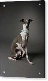 Dog Sitting With One Leg Up Acrylic Print by Chris Amaral