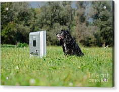 Dog Watching Tv Acrylic Print