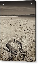 dogfish at Newborough Beach Acrylic Print by Meirion Matthias