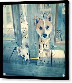 #dogs #brothers #cute #love #family Acrylic Print