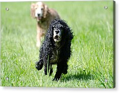 Dogs Running On The Green Field Acrylic Print by Mats Silvan