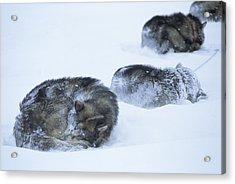 Dogs Sleep In Blizzard On Frozen Ocean Acrylic Print by Gordon Wiltsie