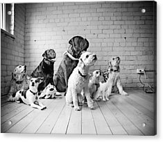 Dogs Watching At A Spot Acrylic Print by Sumit Mehndiratta