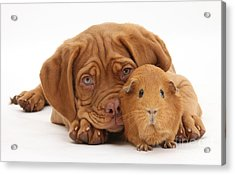 Dogue De Bordeaux Puppy With Red Guinea Acrylic Print by Mark Taylor