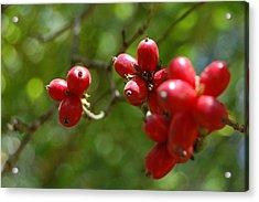 Dogwood Berries Acrylic Print by Beverly Hammond