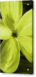 Dogwood Bloom Yellow Acrylic Print by Mark Moore