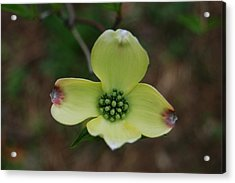 Dogwood Flower Acrylic Print by Julie VanDore