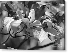 Acrylic Print featuring the photograph Dogwood Flowers by Tannis  Baldwin