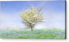 Dogwood In The Mist Acrylic Print by Debra and Dave Vanderlaan