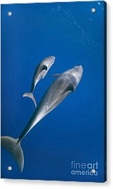 Dolphin And A  Cub Acrylic Print by Tom Peled